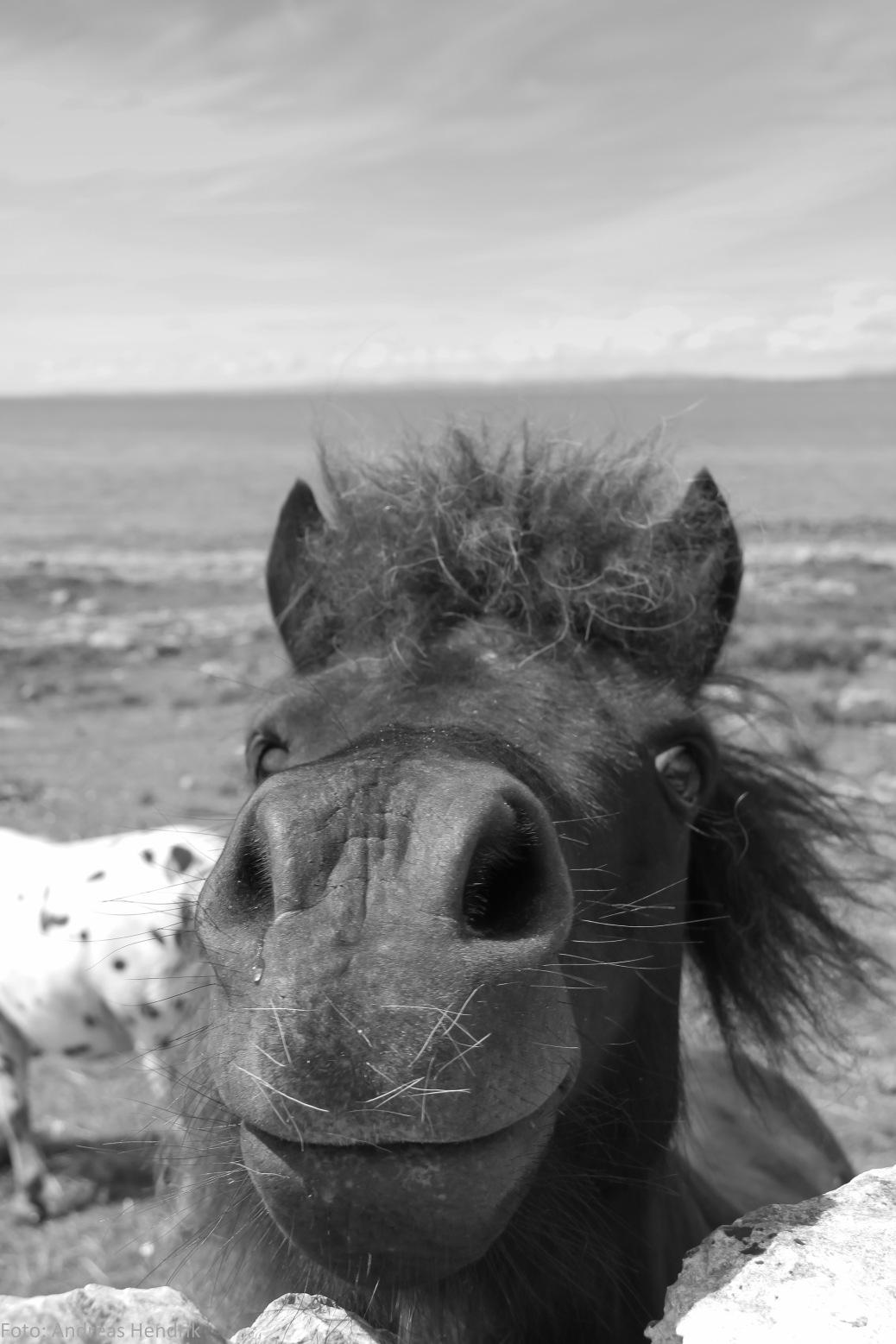 Cheeky Irish Pony