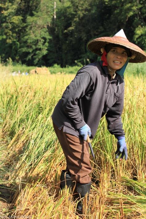 Reisfeldarbeiter Thailand