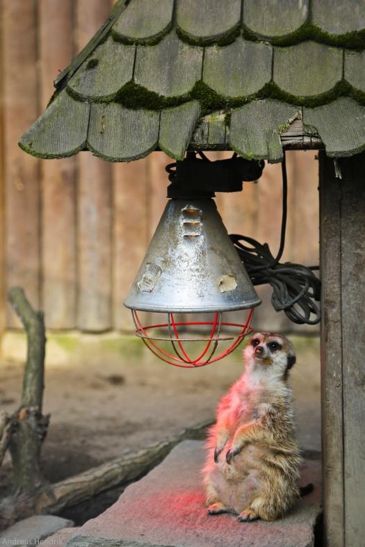 Erdmännchen Meerkats