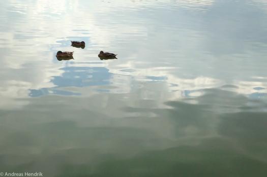 Enten im ruhigen Wasser dümpelnd