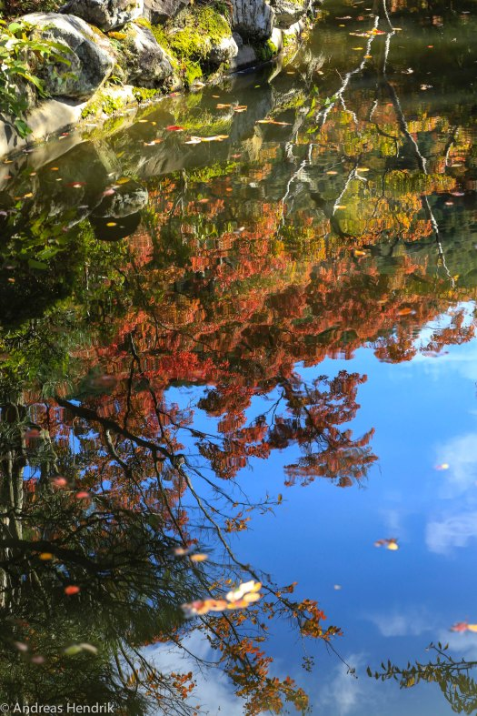 Maple leaf mirroring in the water