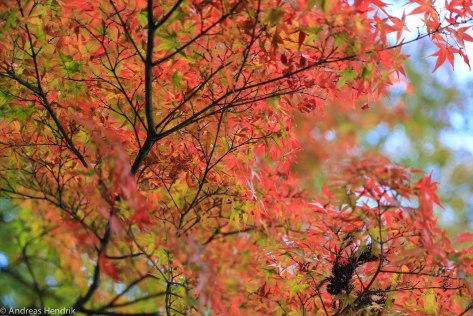 Big Red-Rotes Ahornblatt Japan