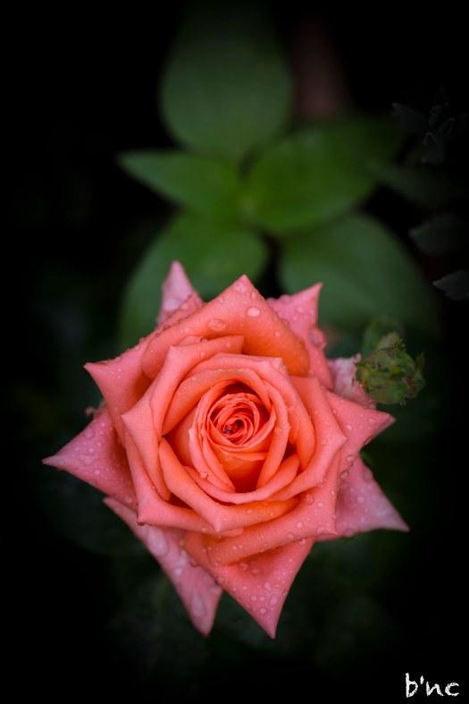 Rose mit Tropfen im Garten-2