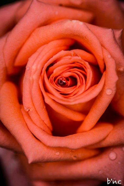 Rose mit Tropfen im Garten