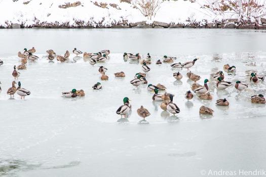 20150131_Enten auf gefrorenem See