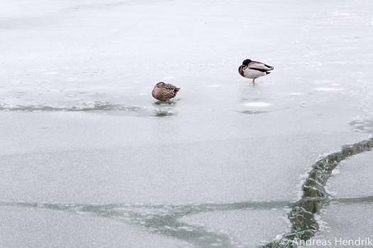 20150131_Enten auf zugefrorenem See