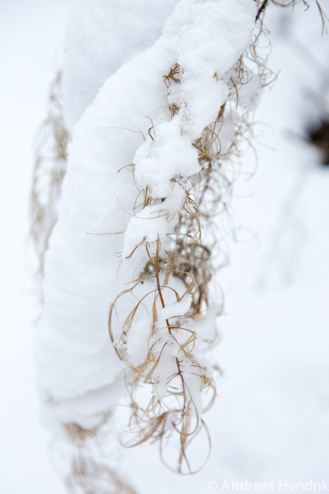 20150131_Gras im Schnee