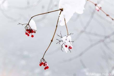 20150131_rote Beeren im Schnee